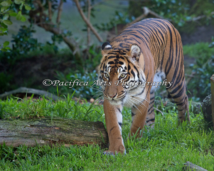Stunningly beautiful - Leanne (Sumatran Tiger)