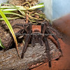 Brazilian Salmon Tarantula in the Insect Zoo.