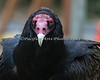 Turkey Vulture stare! O.o