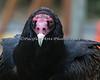 Turkey Vulture stare! O.o