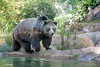 Kachina strolling around her pool. (Grizzly Bear)