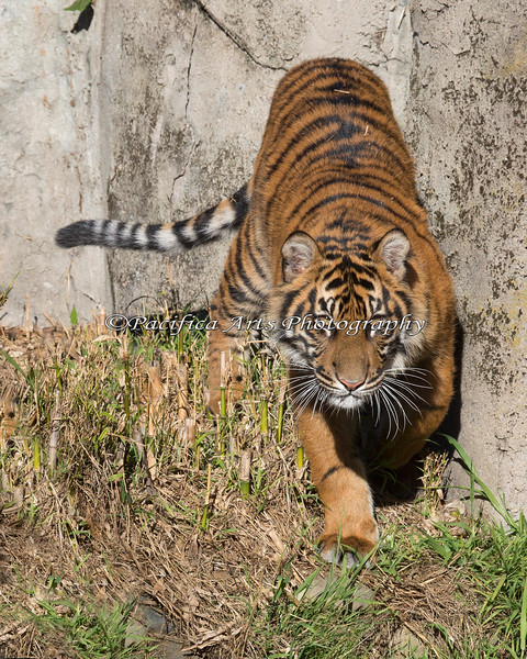 Jillian, a  9 month old Sumatran Tiger cub, heads over to the stairs.