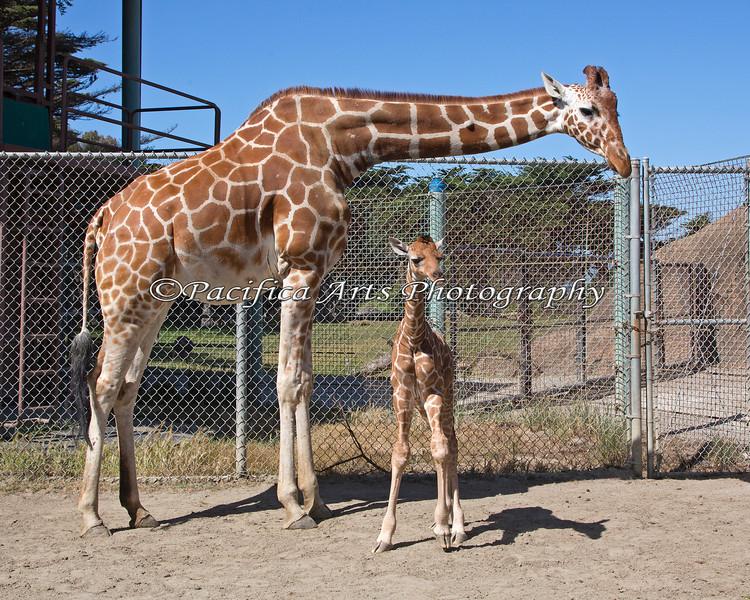 Reticulated Giraffe Mom, Kristin & her baby daughter Erin.