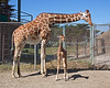 Reticulated Giraffe Mom, Kristin & her baby daughter Erin.