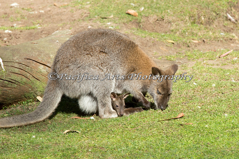There's a new arrival in the Australian Walkabout - a Bennett's Wallaby joey!