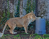 Amanzi smells something good under that garbage pail! (African Lioness)
