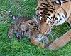 Mom and cub taking it easy in the grass (Sumatran Tigers, Leanne & Jillian)