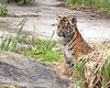 Sumatran Tiger, Jillian watching her Mom.