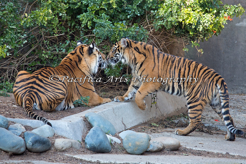 Whiskers to whiskers - Jillian greets her mom, Leanne.  (Sumatran Tigers)