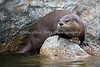 Kelly, a female North American River Otter