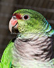 Vinaceous Amazon, a new bird!