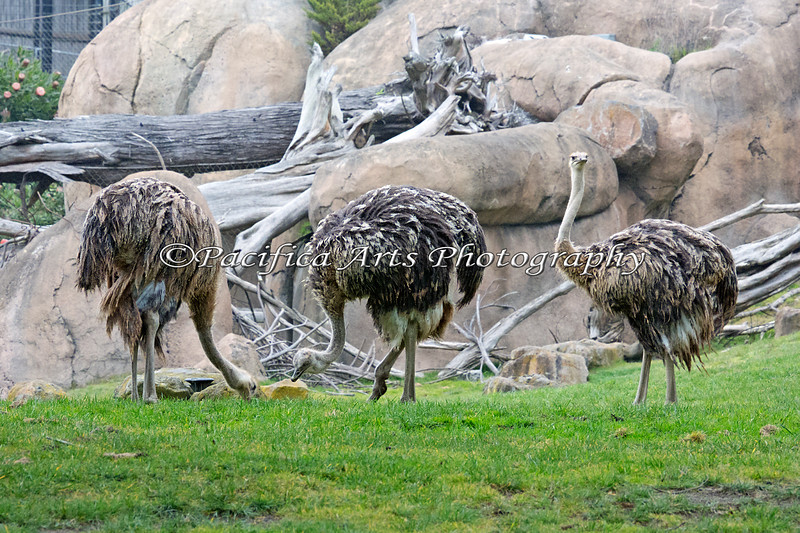 Here are the new birds on the block - three juvenile Ostriches.