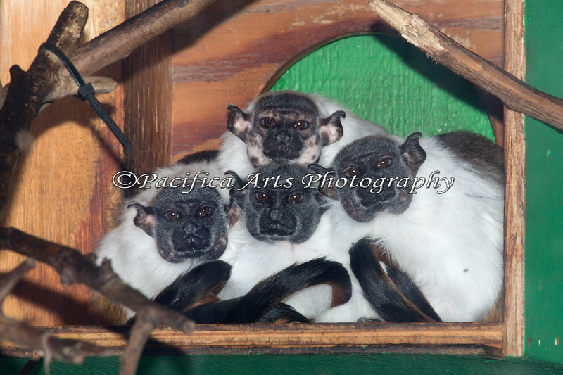 Pied Tamarins - all of them at once - and they're sitting still!  Miracles do happen! (On top is Xhana.  On the bottom, l-r are Edeli, Mama Hen and Izabel)