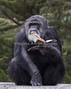 Cobby's method of getting inside the box of treats! (Chimpanzee)