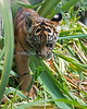 Jillian in the Jungle (Sumatran Tiger)