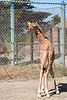 8 day old baby Reticulated Giraffe, Erin