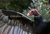 Monty, a Turkey Vulture, sunning his feathers.
