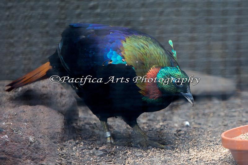 Male Impeyan Pheasant (aka Himalayan Monal)