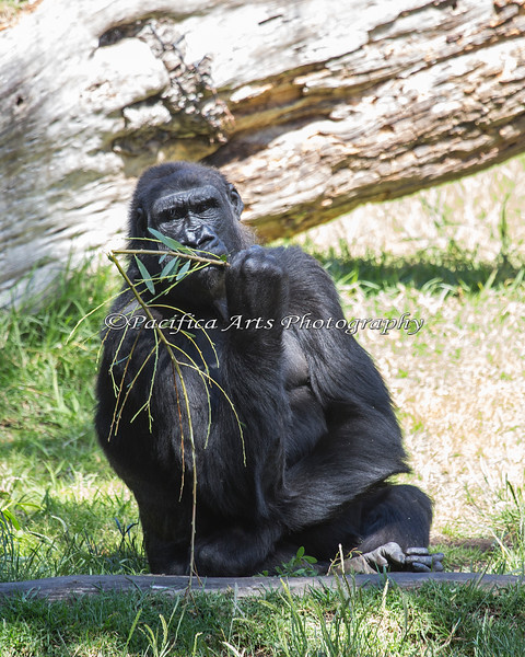 Nneka, munching away on acacia leaves.