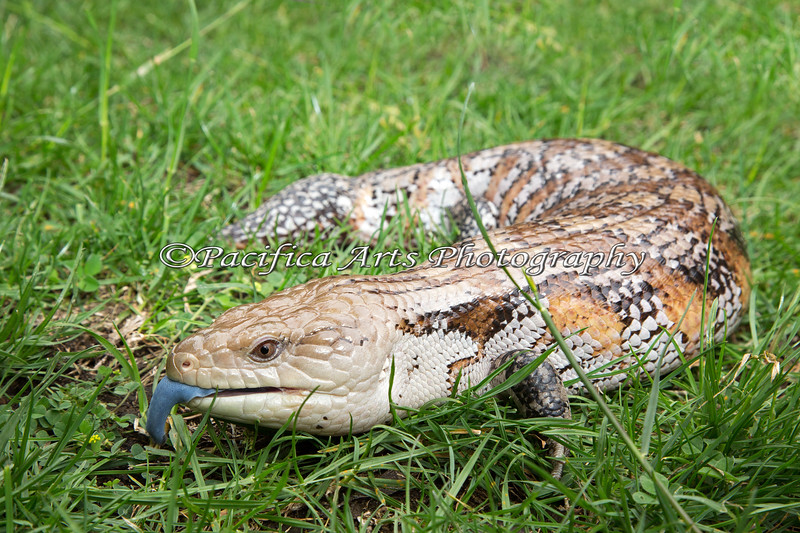 This Blue-tongued Skink really has a blue tongue!  (Thank you to the workers at the ARC for their patience, and for helping me with this beautiful animal)