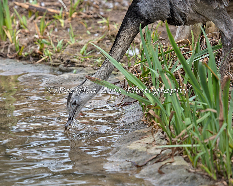 Greater Rhea at the water hole (with a very fast shutter speed!)