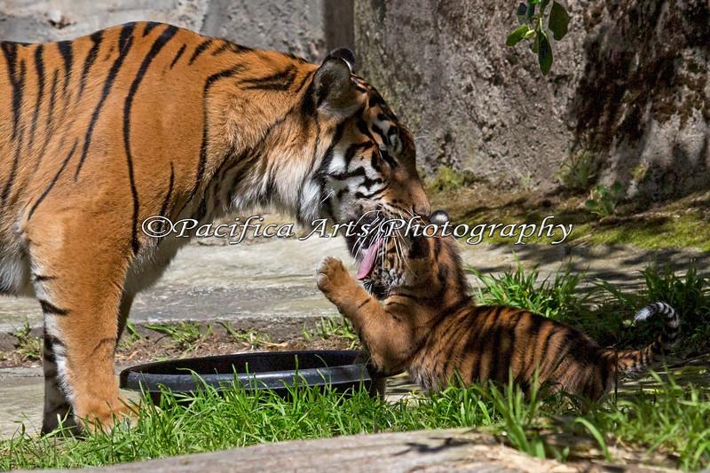 Cub gets a good face-washing. (Sumatran Tiger, Leanne & cub, Jillian)