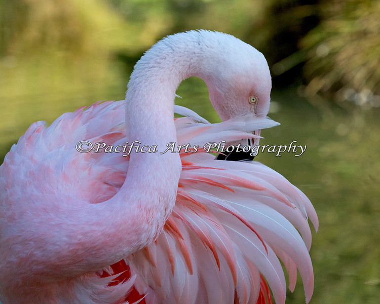 Love the colors in this shot! (Chilean Flamingo)