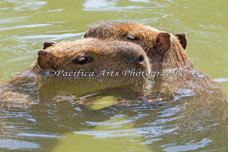 Capybaras cooling down in the pool.