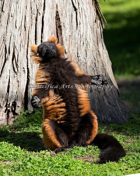 Oh boy!  SUN in January! (Red-ruffed Lemur)
