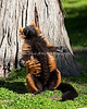 Oh boy!  SUN in January! (Red-ruffed Lemur)
