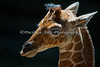 Close-up of Erin (Reticulated Giraffe), 12 days old.