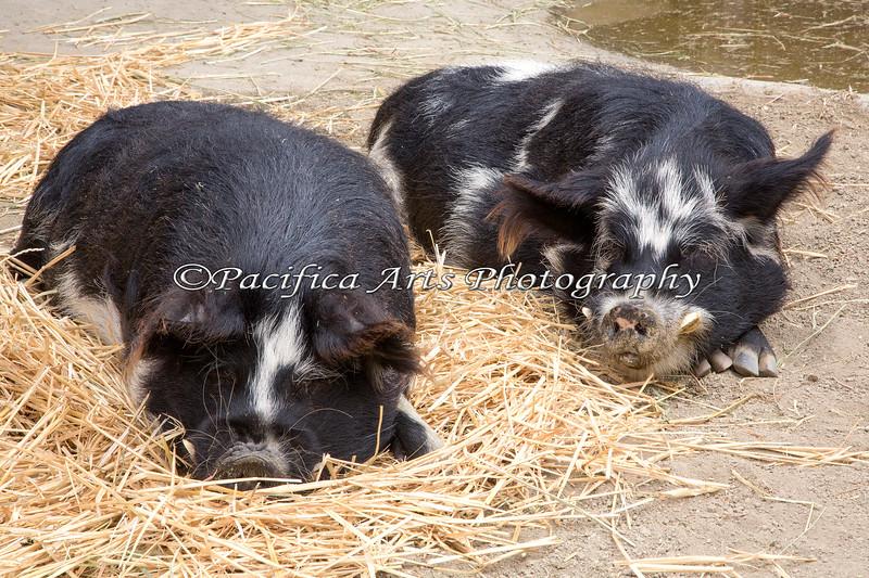 Afternoon siesta for a couple of KuneKune Pigs, Kai & Tiki.