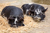 Afternoon siesta for a couple of KuneKune Pigs, Kai & Tiki.