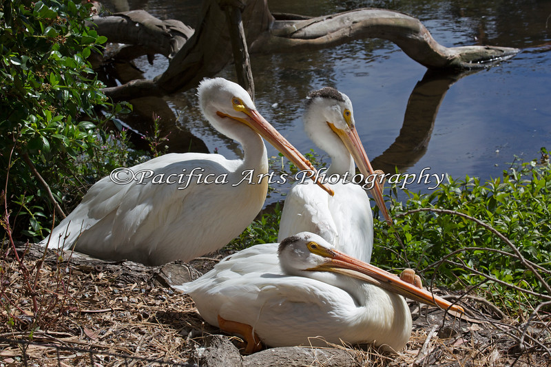 A trio of American White Pelicans near the Billabong.
