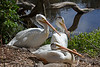 A trio of American White Pelicans near the Billabong.