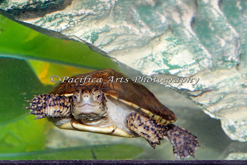 Here's one of the baby Western Pond Turtles that the Animal Resourse Center is raising for release in the wild.
