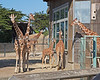 All of the Reticulated Giraffe group:  l-r: Barbro, Bititi, Floyd in back, Erin, Eve & Kristin