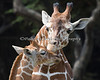 6 week old Erin gets a kiss from Eve.  (Reticulated Giraffes)