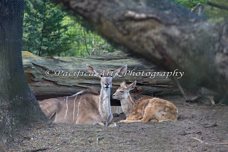 Rest time for baby Greater Kudu and her mom.
