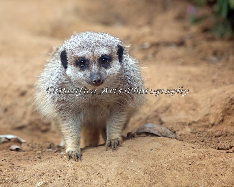 Just plain cute. (Meerkat)