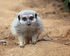 Just plain cute. (Meerkat)