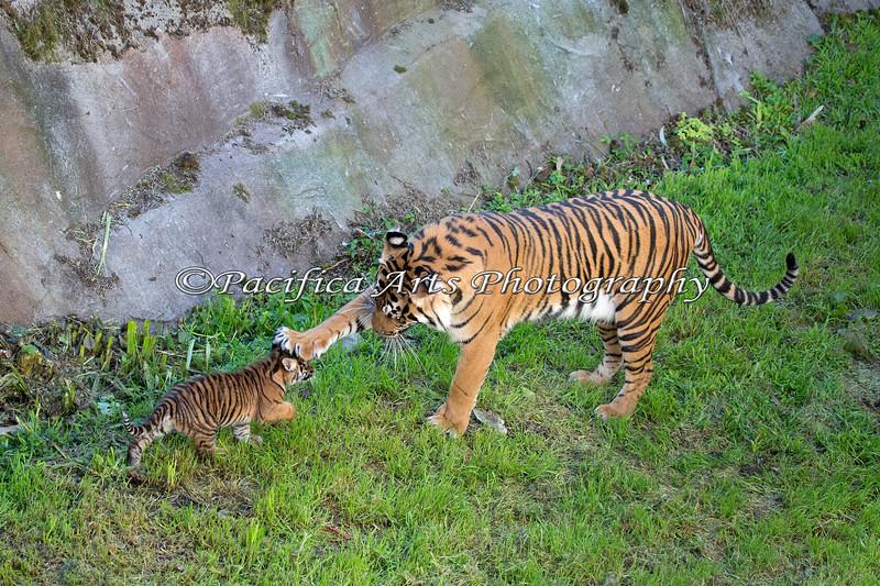 """Whoa there little cub!""  (Sumatran Tiger, Leanne & little Jillian)"