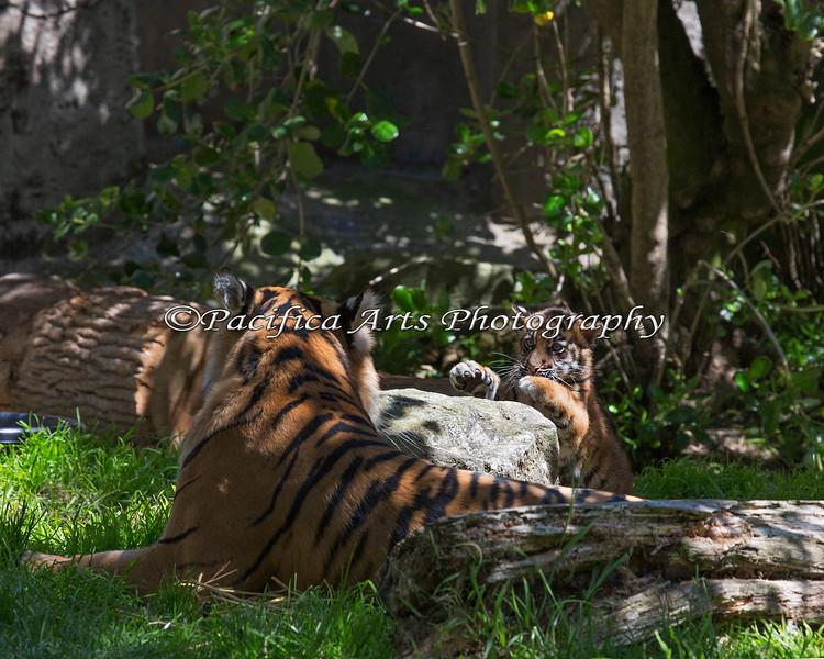 """""""Sneakin' up on Mom!""""  (Sumatran Tiger, Leanne & cub, Jillian)"""