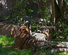 """Sneakin' up on Mom!""  (Sumatran Tiger, Leanne & cub, Jillian)"