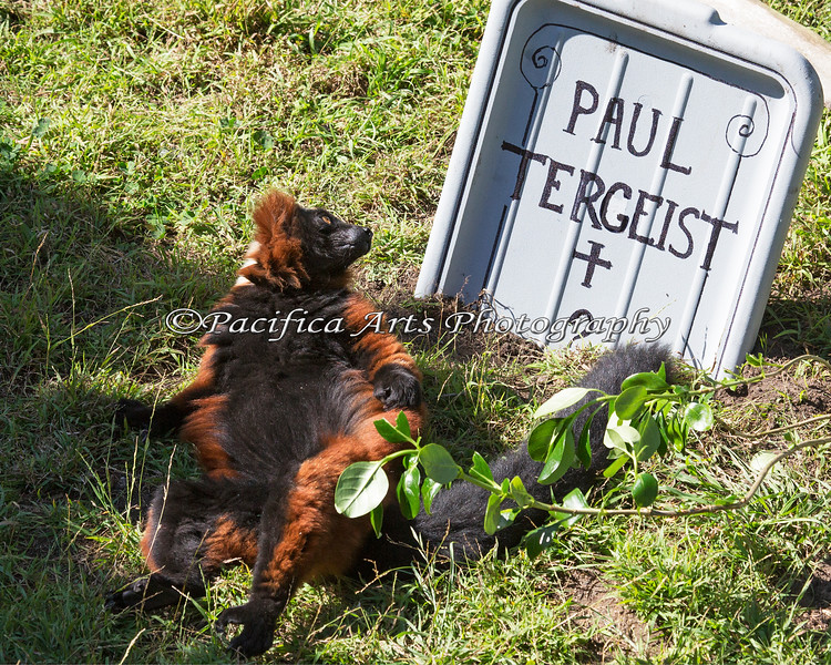 This Red Ruffed Lemur looks a little worried about that tombstone, during Boo at the Zoo.