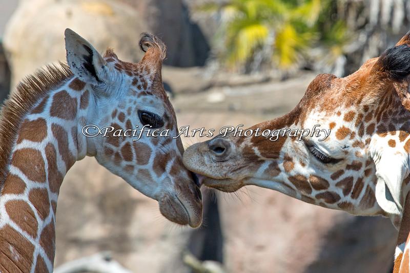 """A Kiss for Erin"" (Reticulated Giraffes)"