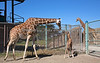 Mom checks on her week old baby, while Dad is keeping an eye on things on the other side of the fence.  (Reticulated Giraffes)