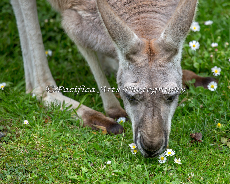 Red Kangaroo nibbling on some daisies