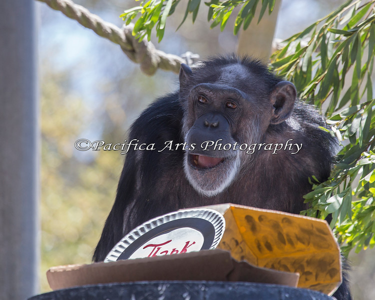 Maggie, a Chimpanzee, opens a box of treats.