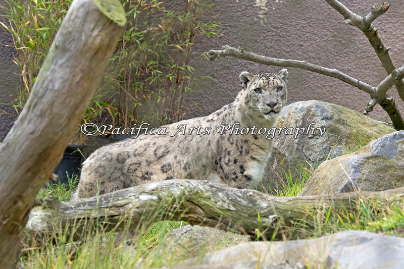 Snow Leopard, Rigel, was waking around his yard in search of hidden treats.